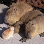 ひなたぼっこをしているカピバラ親子と友人のウサギ君です。ごわごわな毛皮にもちょっと触らせてもらいました。お昼寝を邪魔されて不機嫌になっちゃったかも。