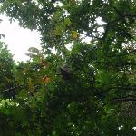 Three-toed Sloth in the trees