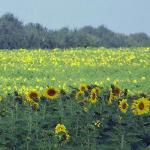 Bristy takes great photos. Beautiful Kansas Sunflowers