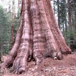 One of the great trees this National Park is named for.