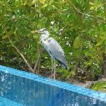 Friendly stork visited our pool daily