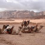 The camels ready for the desert tour in camels