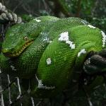 Emeral Boa Seen on the Canopy Walk