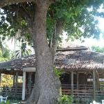 Extremely large tree that covers the dining area of the resort that we stayed at.