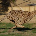 More Cheetah