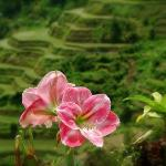 Banaue Rice Terraces Benguet Province