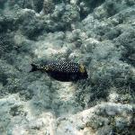 big blue puffer fish