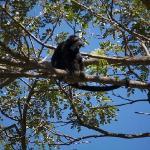 Howller monkey howlin'