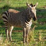 Zebra in the grounds