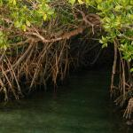 mangroves leading to hot springs