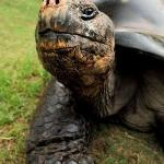 The Old Timer - Local Galapagos Tortoise, Columbia, SC