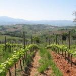 Rows of grapes at organic farm