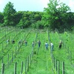 Group picking grapes