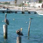 pelicans are all over the beach areas