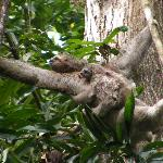 Mother & baby sloth in tree near parking lot