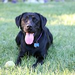 Lacey the Labby