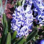 Hyacinth and bee @ Arboretum