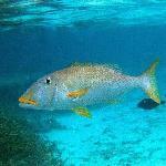 イパオビーチ沖のサンゴ礁の大型魚(イエローリップ・エンペラー)