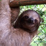 3 fingered sloth