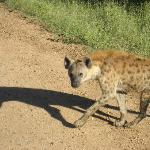 Hyena in the morning