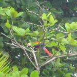 Scarlet Macaw outside our room