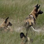 African Wild Dogs in Hwange