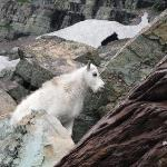 Another goat above the trail to Sperry Glacier