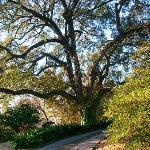 The front yard live oak