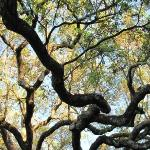 Gnarley Charleston tree in park.