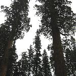 Giant Sequoia Grove 16 miles up the road