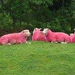Pink Sheep At Sheepworld Warkworth NZ