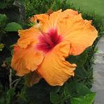 One of the many colorful hibiscus flowers that are on the grounds