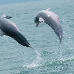 Dolphins on Mangrove tour