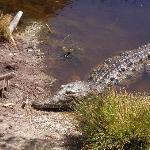 """""""rancho, rancho!"""" our crocodilia friend!"""
