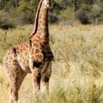 Bilde fra Okavango Delta