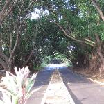 """""""Tunnel of Trees"""" at the entrance drive"""