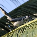 White-fronted Magpie-Jay