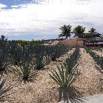 Agave plants along walkway to beach