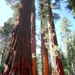 Redwoods at Yosemite