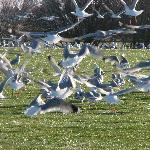 Overweight Seagulls