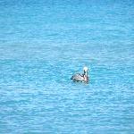 un pélican à la mer