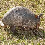 Armadillo roaming the grounds