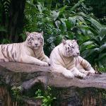 Bilde fra Singapore Zoo