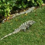 Nos amis les iguanes, ils sont partout..