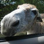 One of the wild donkeys