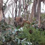 Koala munching eucalyptus