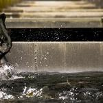 Salmon jumping from one hatchery bay to the next