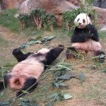 So Cheeky!  Le Le (樂樂) and Ying Ying (盈盈) Ocean Park Hong Kong