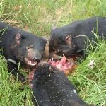 Tassie Devils feeding on roadkill