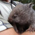 holding a baby wombat